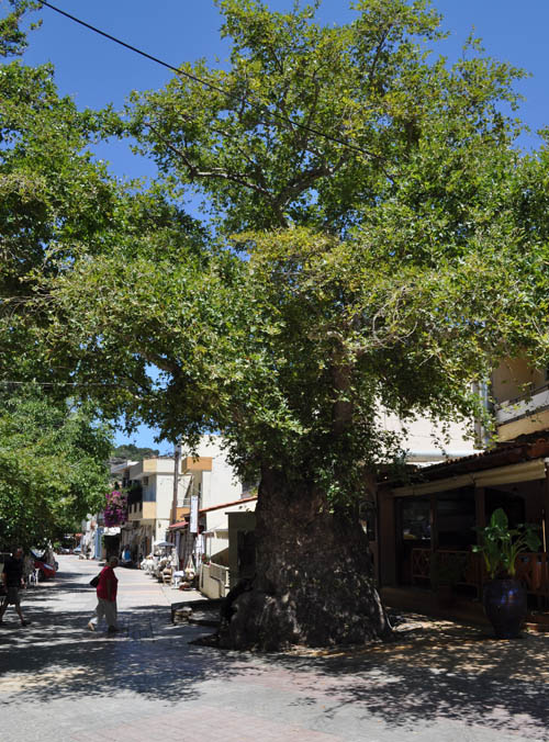 The platia of Fodele village is dominated by a thousand-year old plane tree